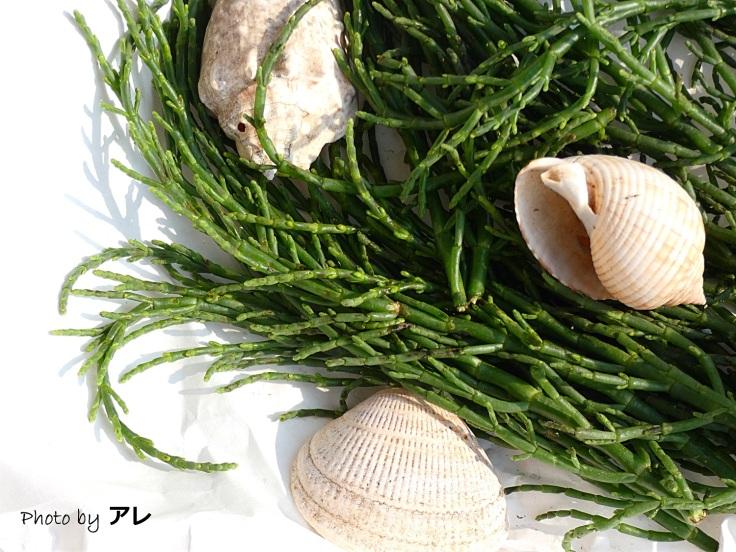 salicornia5