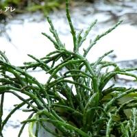 Salicornia, cos'è questa stregoneria?