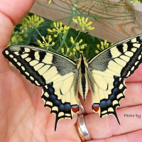 IL MIO MACHY (seconda parte) PAPILIO MACHAON
