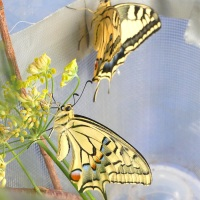 Maclodio e Macly (terza parte) PAPILIO MACHAON