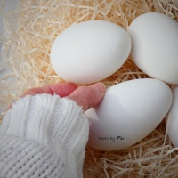 Uova d'oca, finalmente le ho trovate!